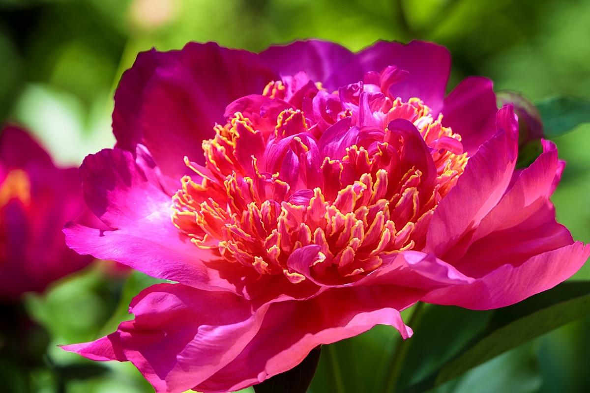La Paeonia officinalis cuenta con muchas propiedades beneficiosas