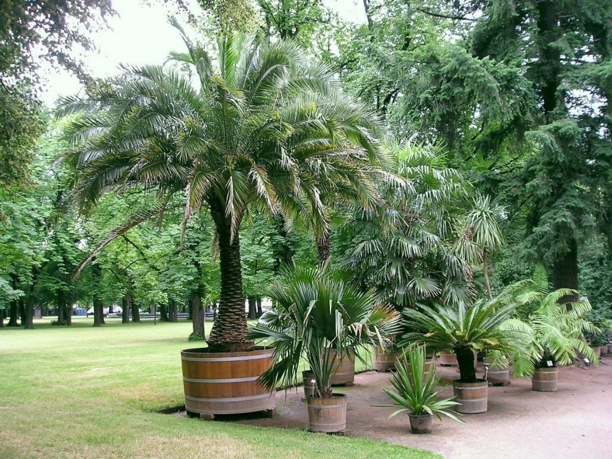 La palmera enana es perfecta para macetas grandes