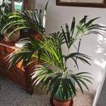 La palmera kentia no necesita mucha agua