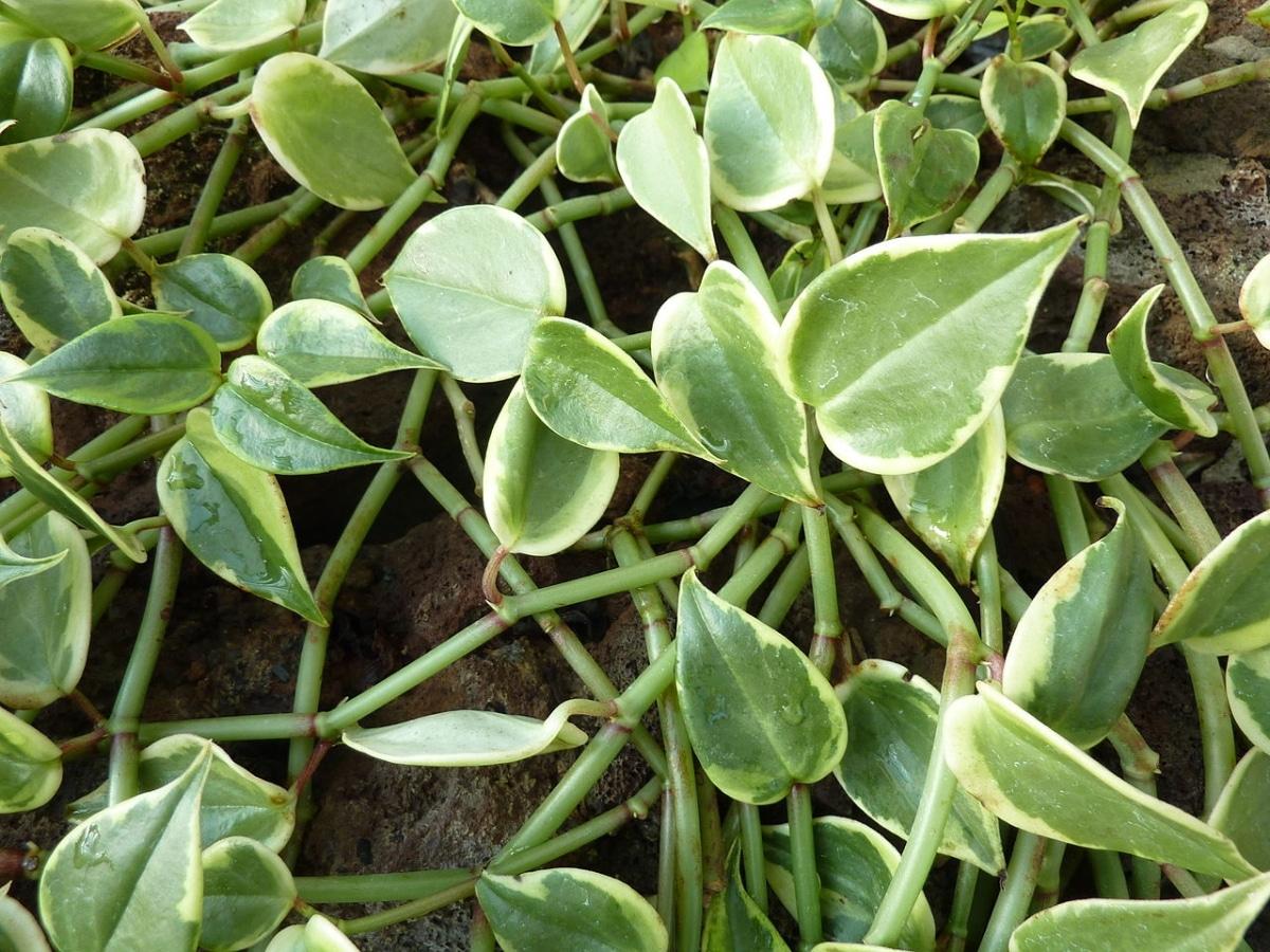 La peperomia es una planta suculenta