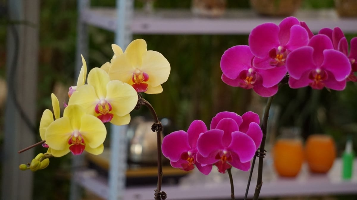 Las phalaenopsis son orquídeas que tienen flores preciosas