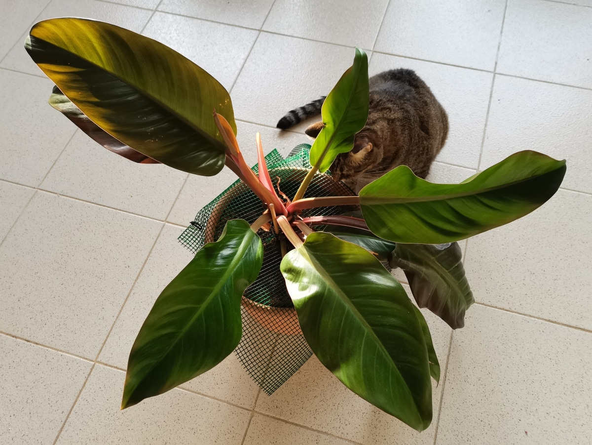 El Philodendron imperial es una trepadora