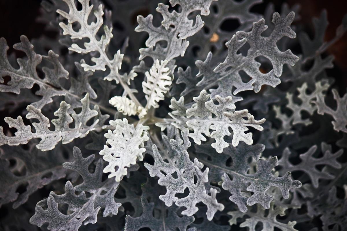 Las plantas grises son de excepcional belleza