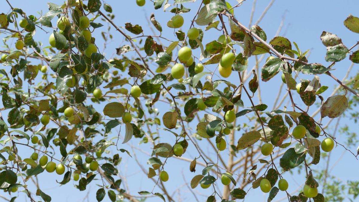 Cómo se planta un azufaifo