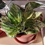 El potos variegado tiene las hojas amarillas y verdes