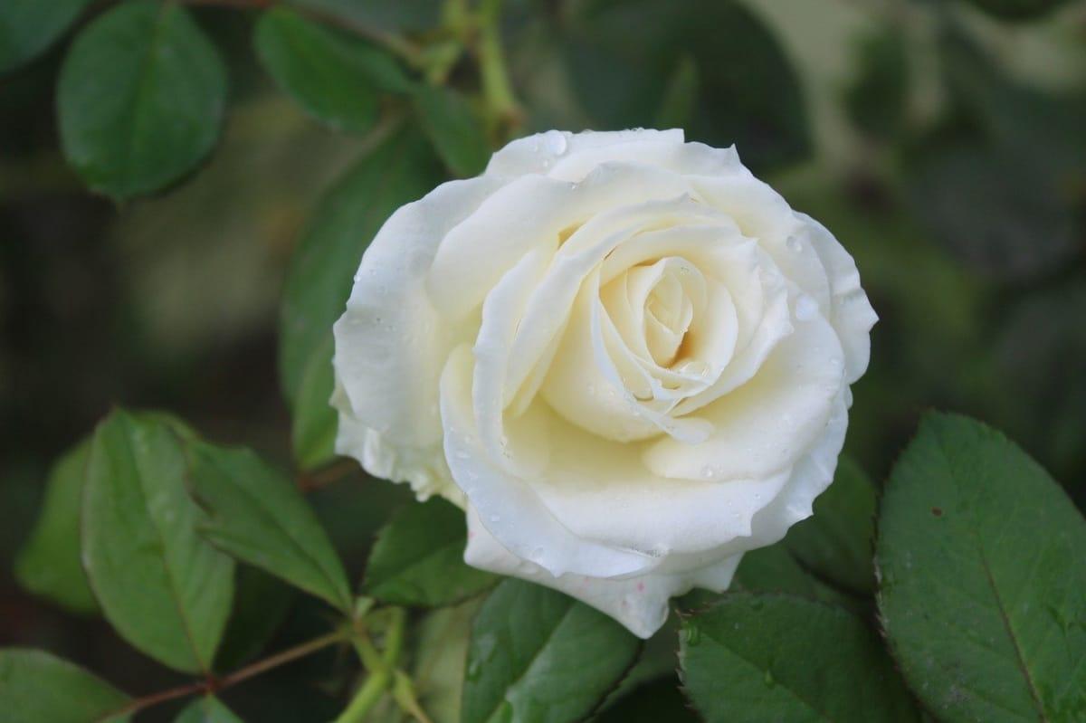 Las rosas blancas son grandes