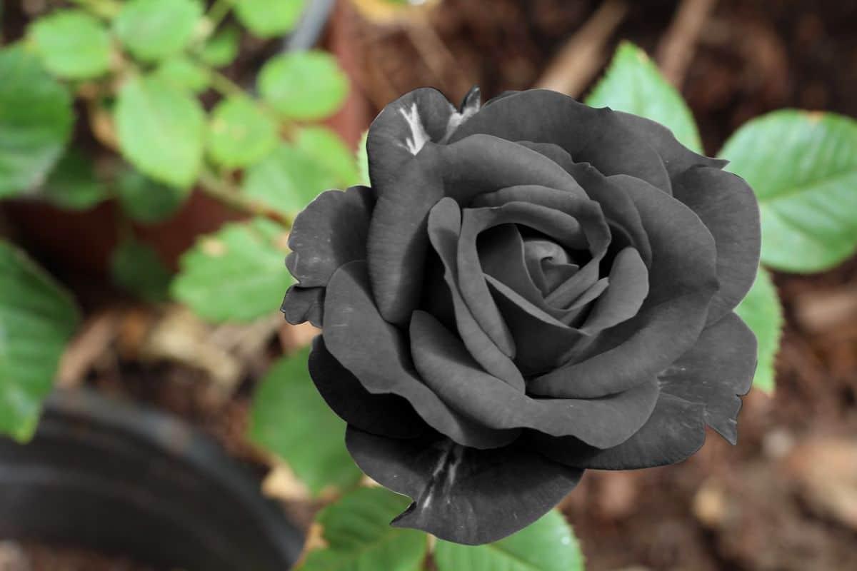Rosa negra flores negras
