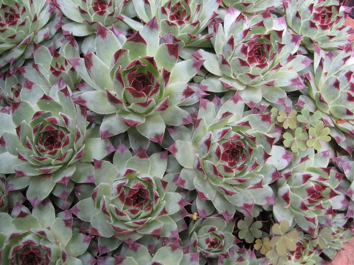 La Siempreviva puede tener hojas verdes o grises