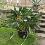 La Strelitzia reginae es una planta rizomatosa