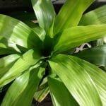 El tronco de Brasil es una planta arbustiva