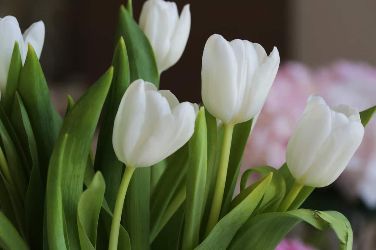Los tulipanes son bulbosas que florecen en primavera