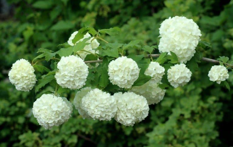 El Viburnum opulus es un arbusto que soporta las heladas