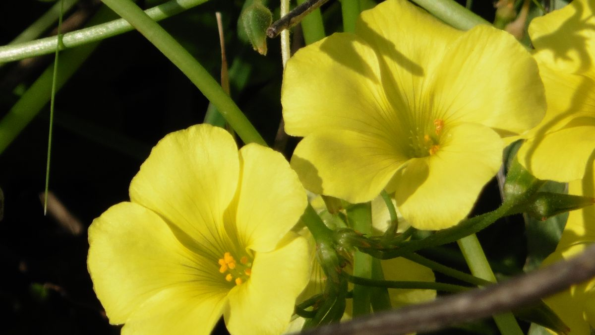 Otros usos de la planta vinagrillo