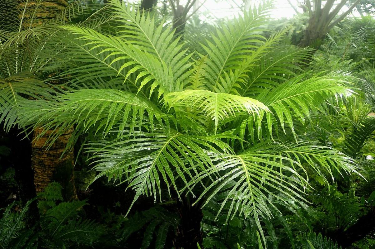 El Blechnum gibbum es un helecho arbóreo que no soporta el frío