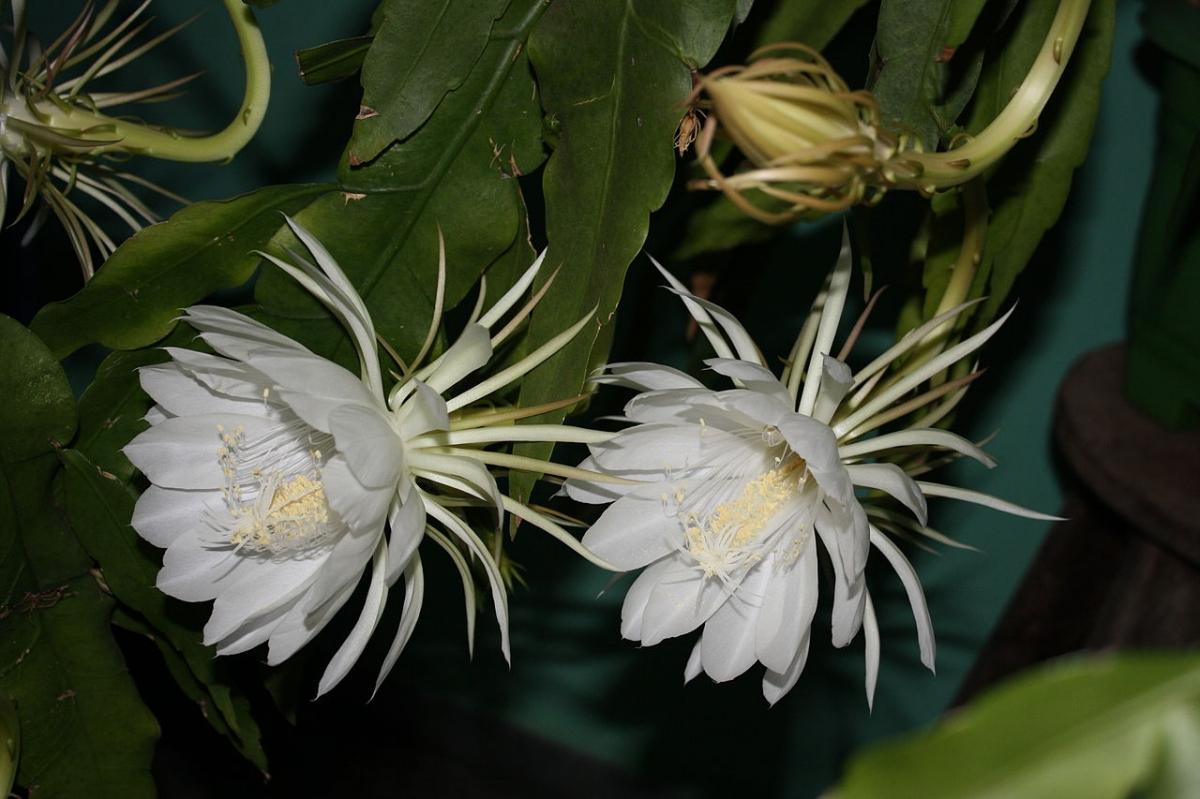 El Epiphyllum oxypetalum es una suculenta colgante de sombra