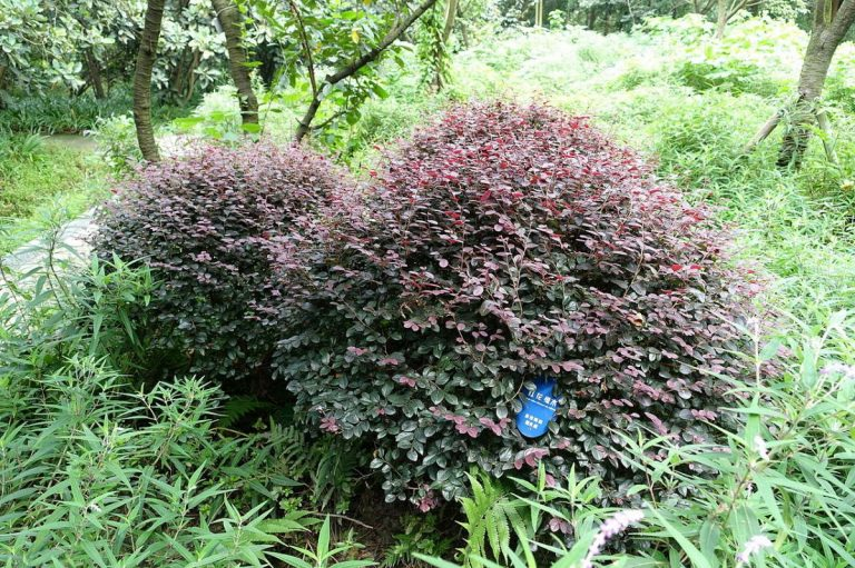 El loropétalo es un arbusto pequeño de hojas rojas