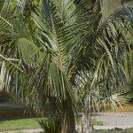 La Parajubaea es una palmera que resiste las heladas