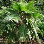 La Pritchardia minor es una palmera pequeña