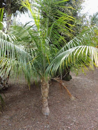 La Ravenea glauca es una palmera de tronco delgado