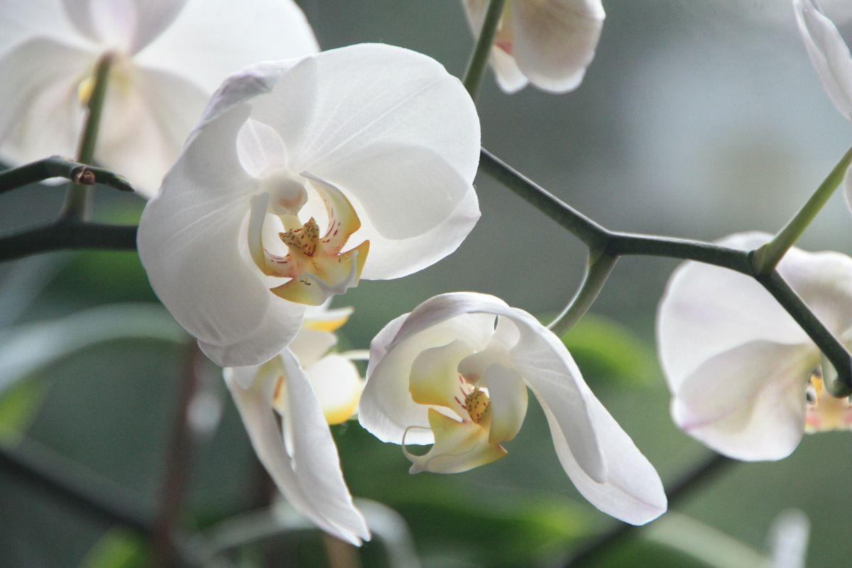 Recuperar una orquídea seca