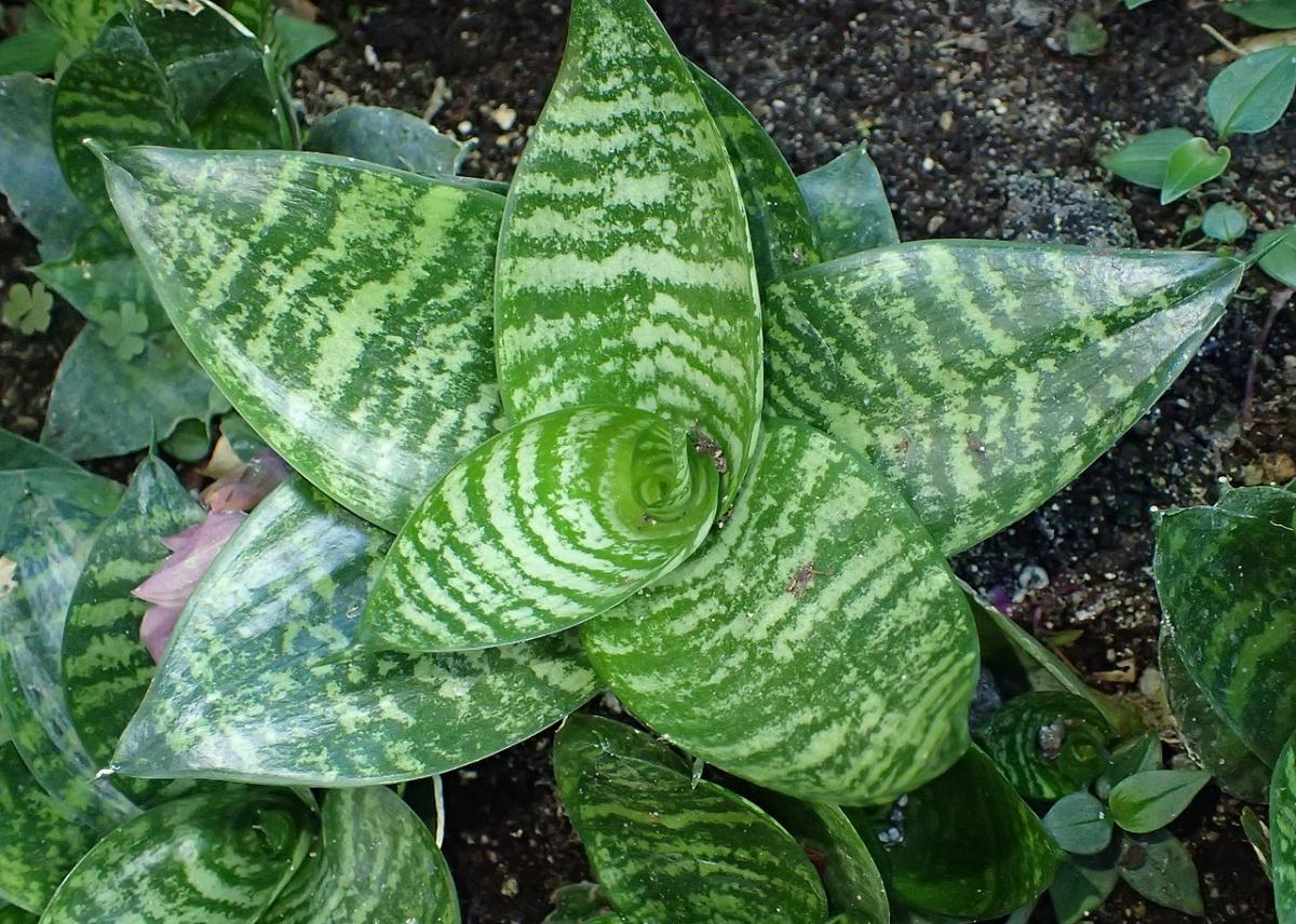 La Sansevieria es una planta herbácea y suculenta
