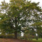 El Acer platanoides es un árbol de copa ancha