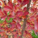 El árbol de Júpiter se vuelve rojo en otoño
