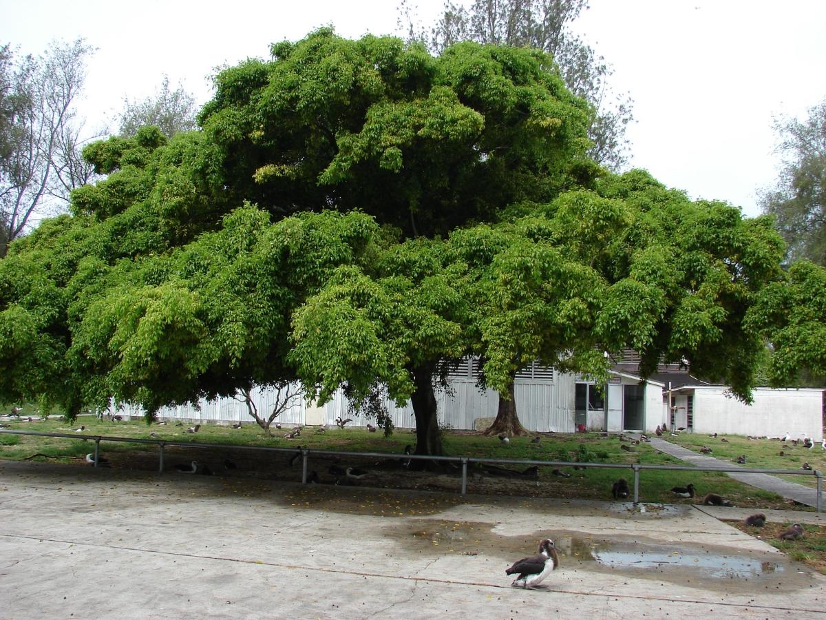 El Ficus benjamina es un árbol tropical