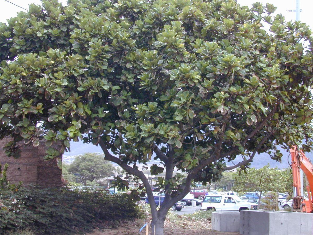 árbol ficus lyrata