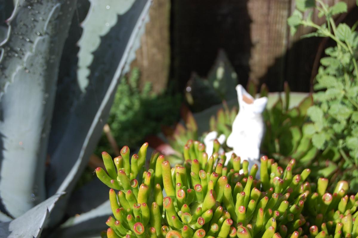 La Crassula ovata ''Gollum''' es una crasa perennifolia