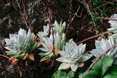 La Dudleya farinosa es una crasa pequeña y blanca