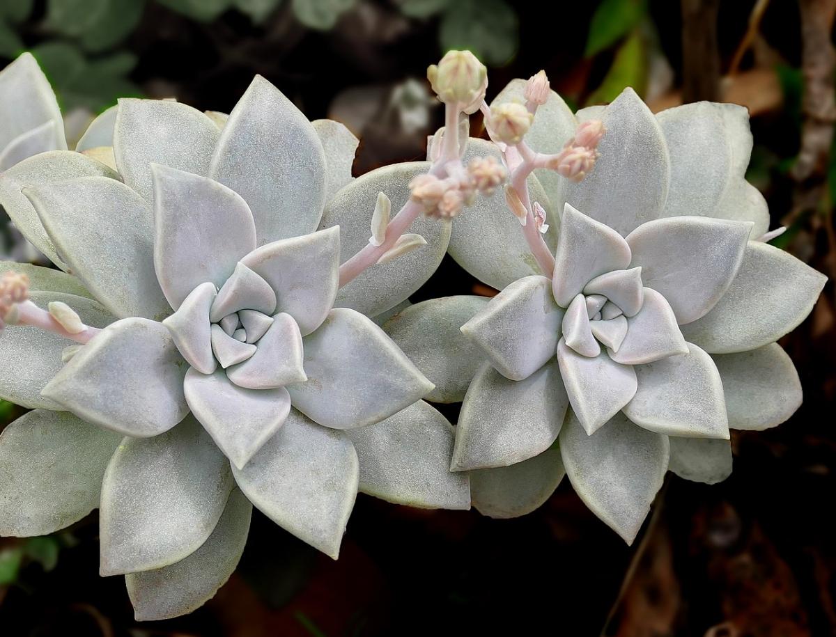 Echeveria laui es una suculenta