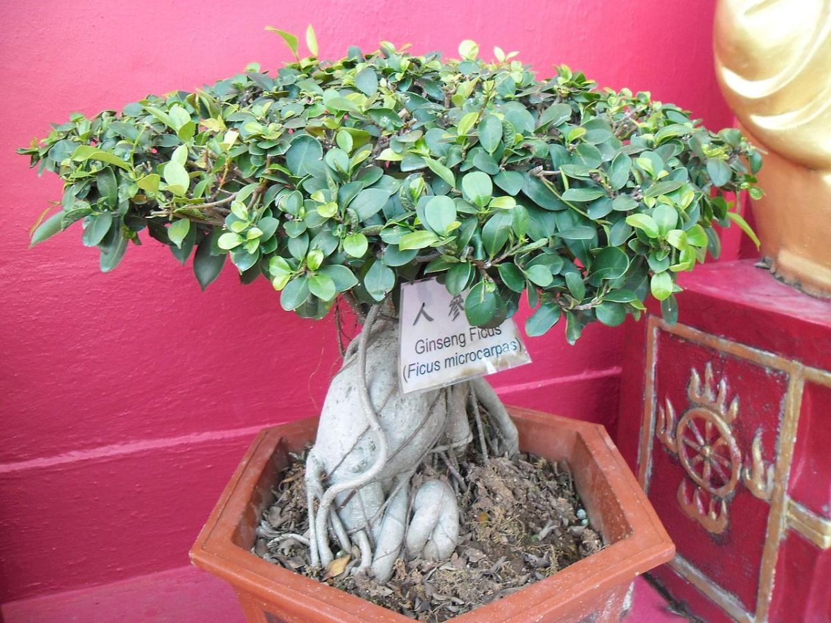 El Ficus Ginseng es un árbol que se cultiva como bonsái