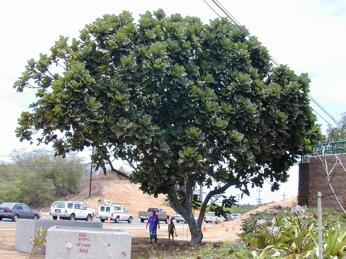 El Ficus lyrata es un árbol grande