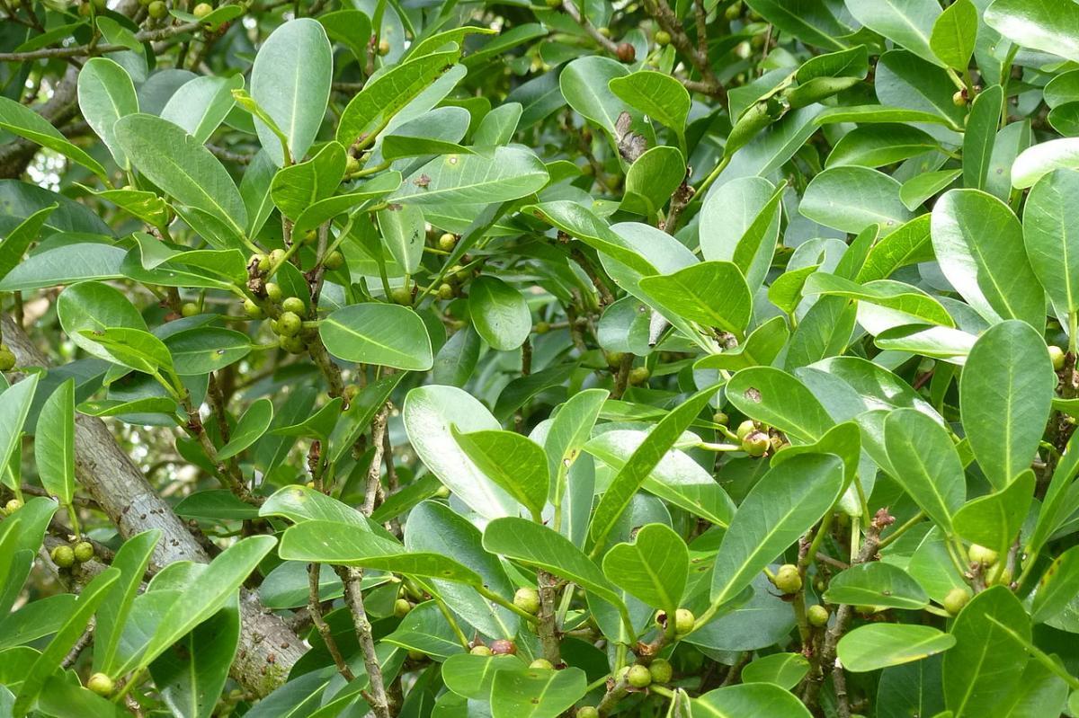 El Ficus reflexa es un árbol de hojas verdes