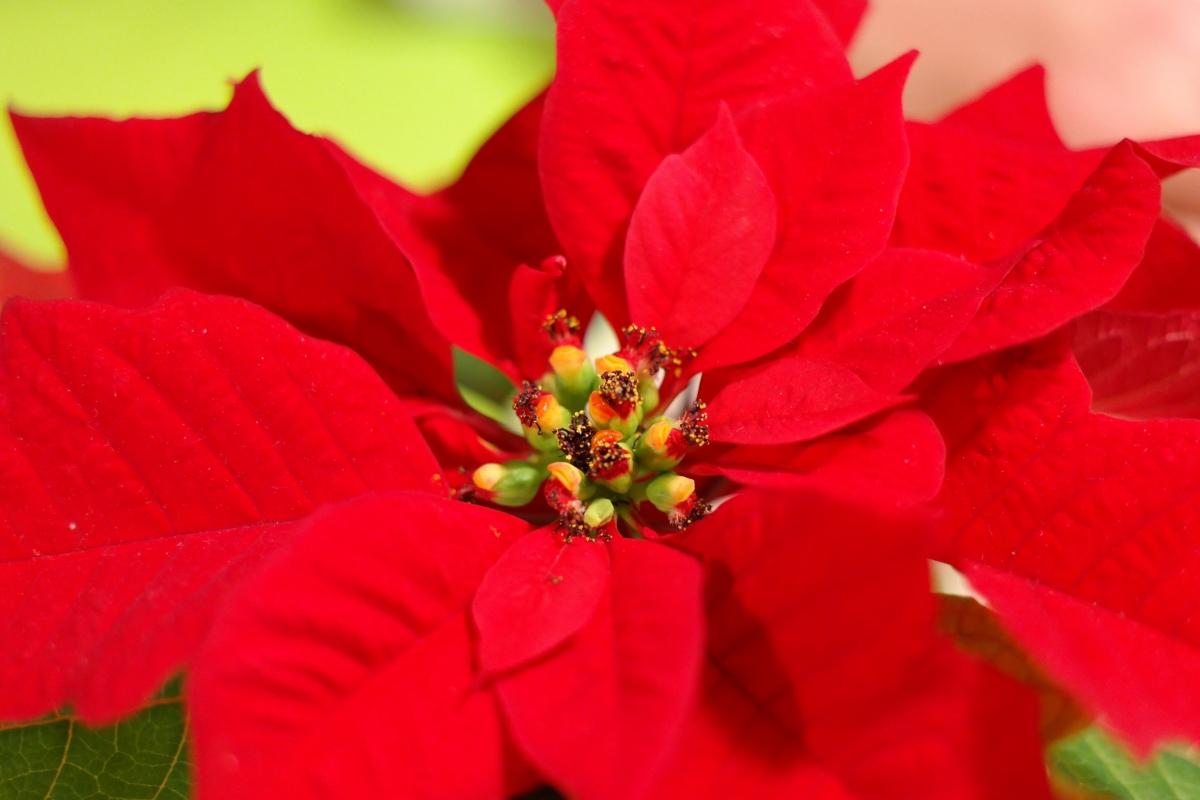 La flor de Pascua es un arbusto que florece en invierno
