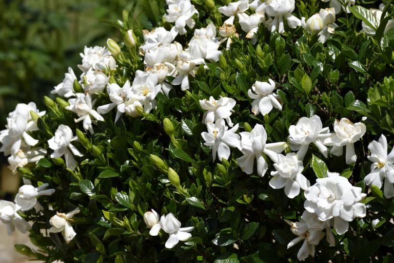 explicación de cuando florecen las gardenias