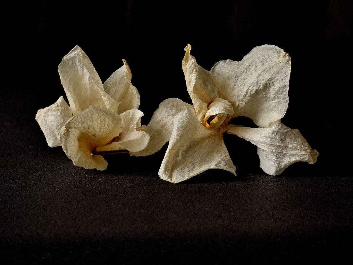 flores de la orquidea seca