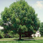 El fresno americano es un árbol grande