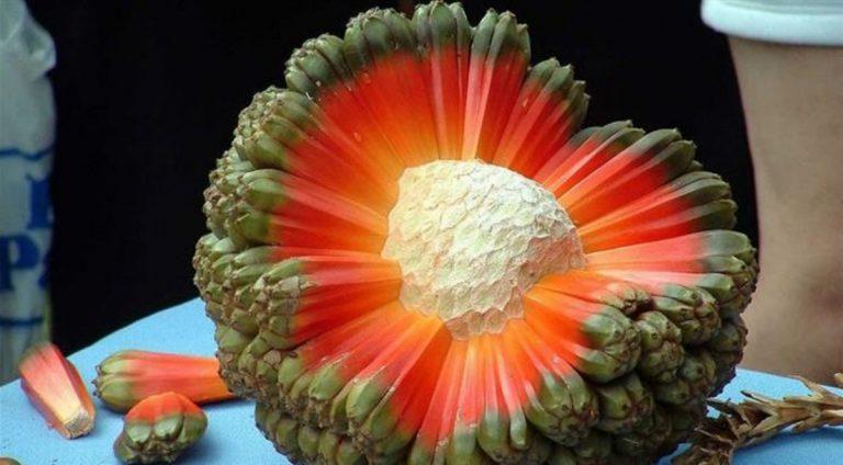 El fruto de hala parece un planeta explotando