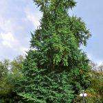 El Ginkgo es un árbol que tiene copa piramidal