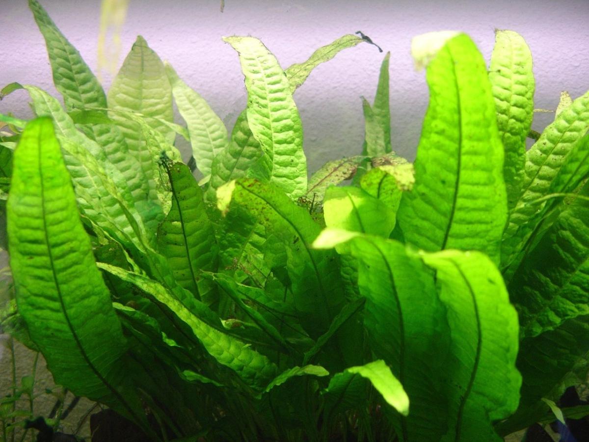 El helecho de Java puede estar en un acuario
