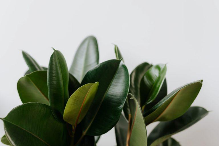 Los ficus son árboles que pueden tener en casa