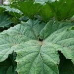 La Gunnera manicata es una planta grande