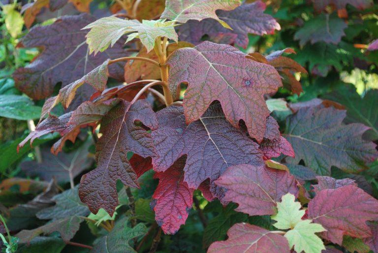 hojas de roble