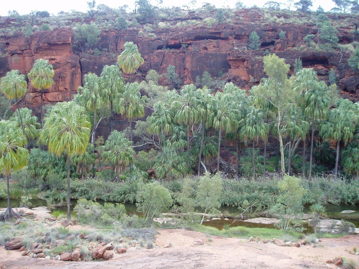 La Livistona mariae es una palmera que se puede plantar en un jardín tropical