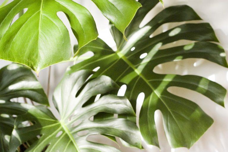Las monsteras son plantas muy usadas en interior