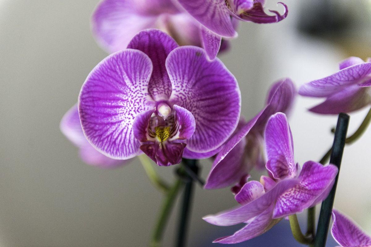 Qué hacer para recuperar una orquídea seca