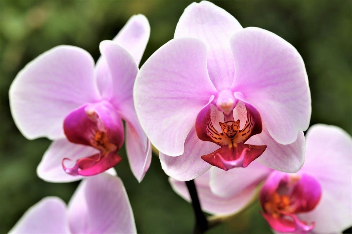Las orquídeas son plantas que florecen en interior