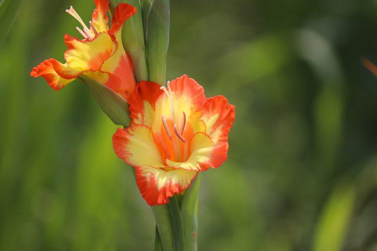 Los bulbos se pueden plantar en maceta o directamente en el suelo